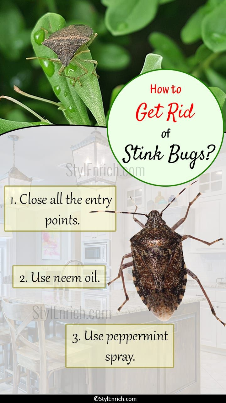 How To Get Rid Of Stink Bugs Stink Bugs Stink Bug