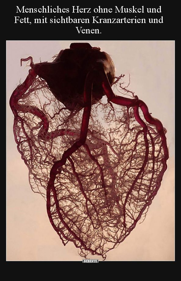 Menschliches Herz ohne Muskel und Fett, mit sichtbaren.. | Lustige ...