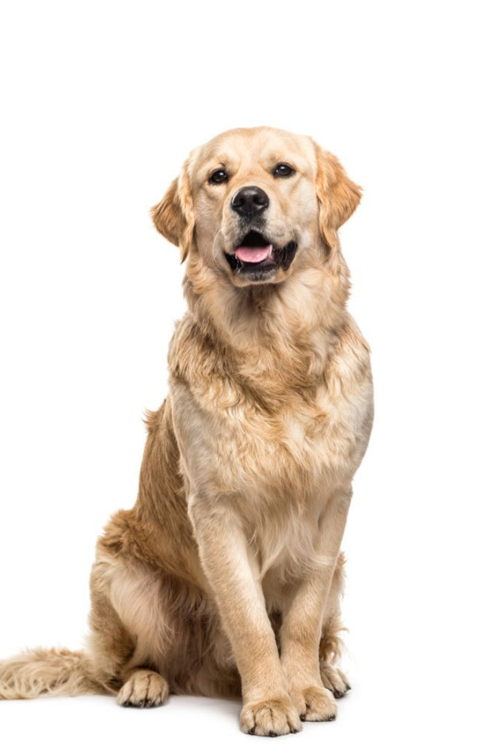 Golden Retriever Dog Sitting And Panting Isolated Goldenretriever Golden Retriever Dogs Golden Retriever Dog Sitting