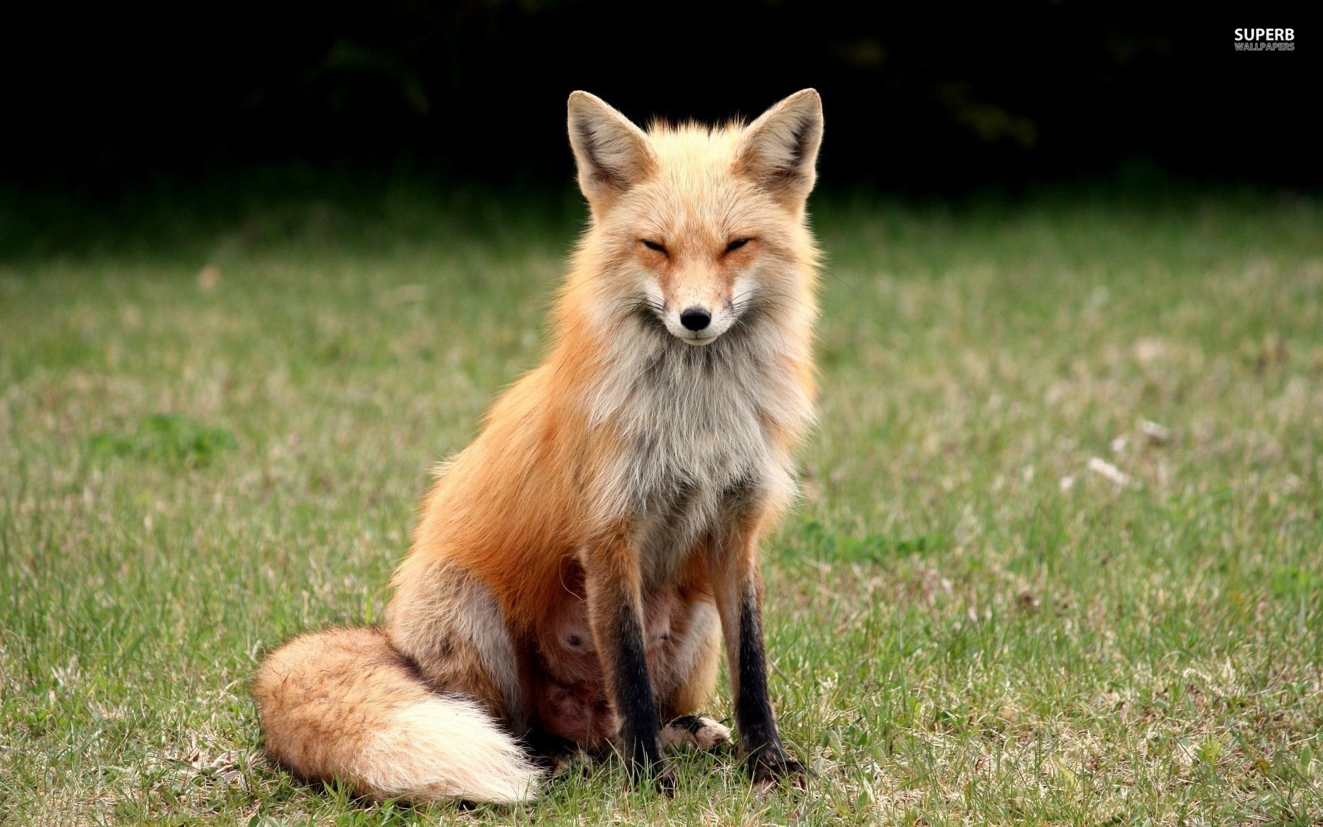 Animal Suspicious Girl Fox Wallpaper Fox Animal