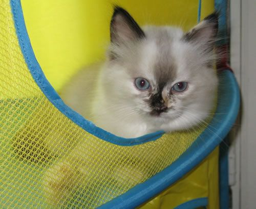 Ragdoll Kitten Ragdoll Kitten Cuddly Animals Ragdoll Kittens For Sale