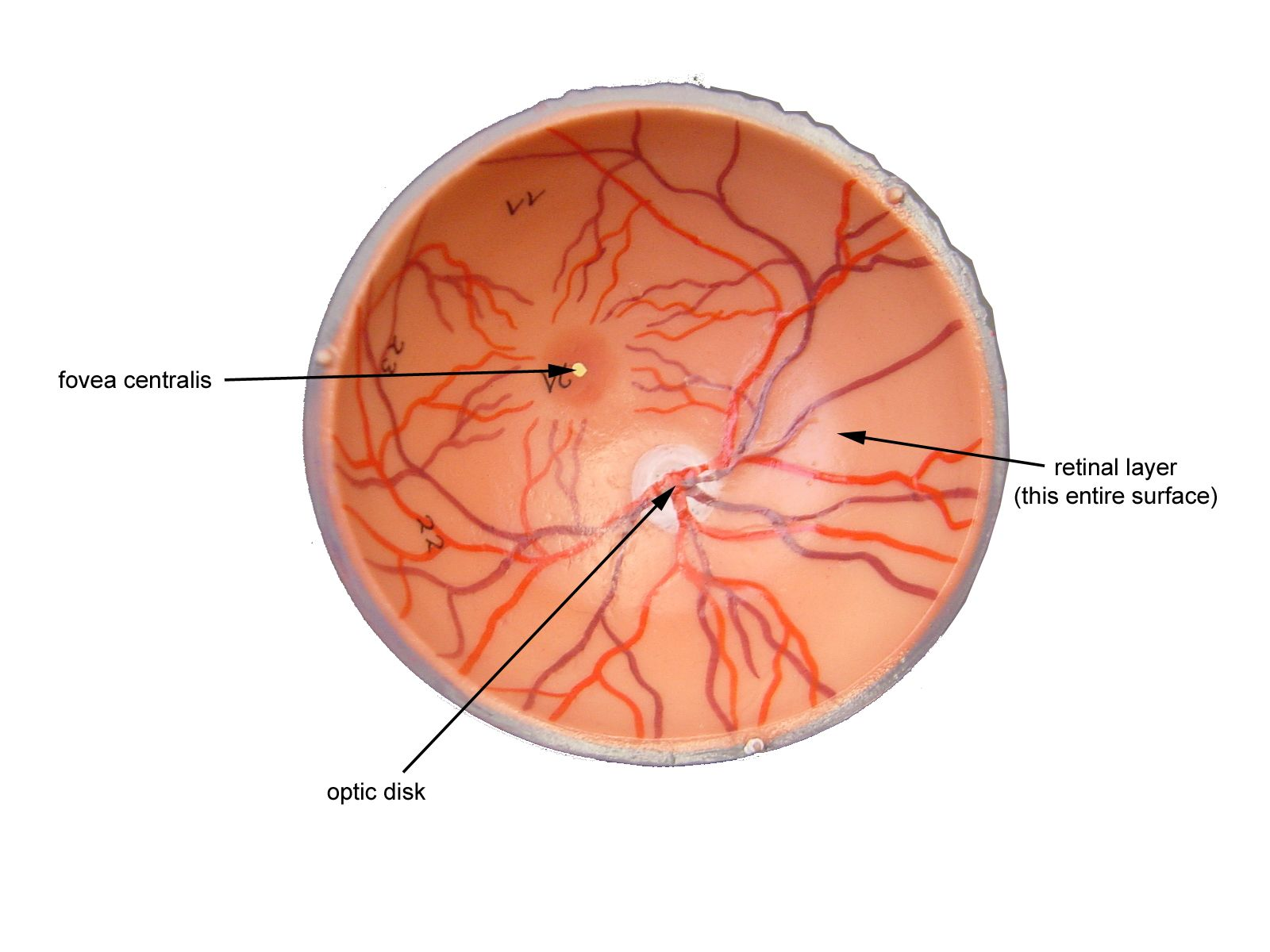 Eye Model Labeled - Bing Images | Biology | Pinterest