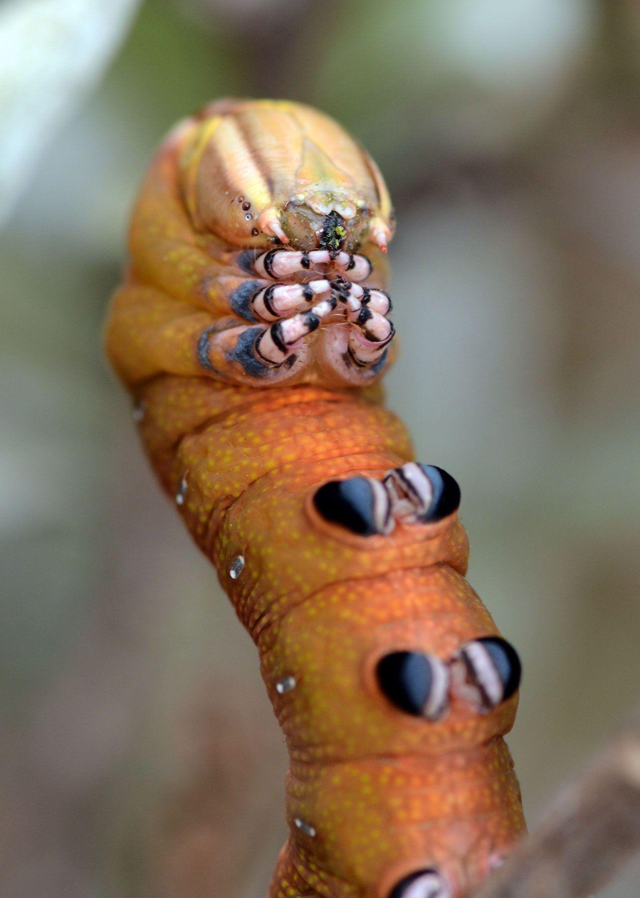 caterpillar mouth Google Search Caterpillar, Creepy