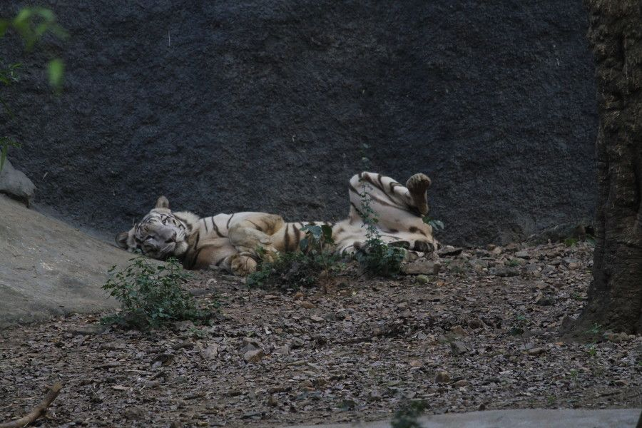 500px A White Bengal Tiger India S Pride By Dhinesh
