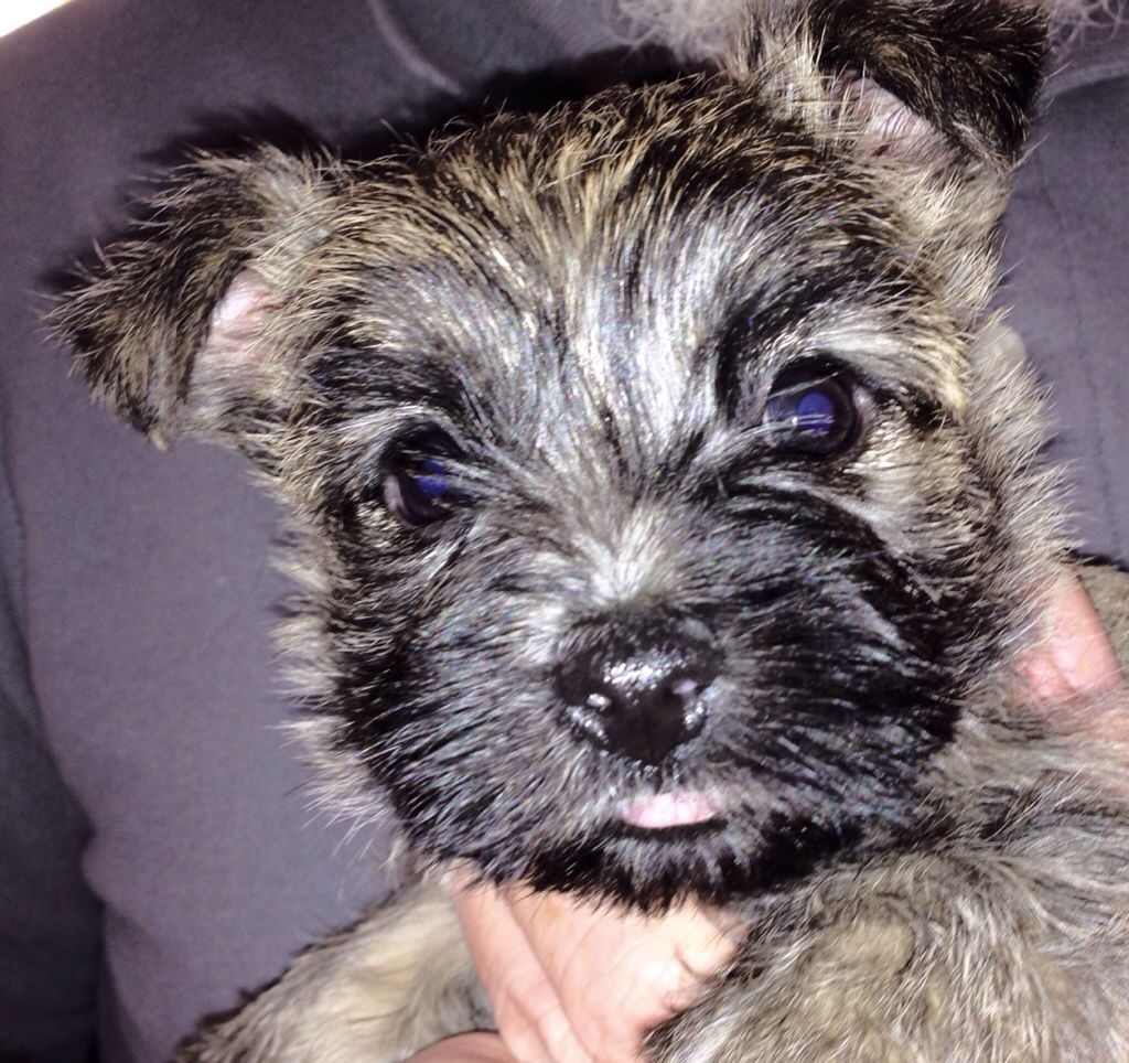 Pearl At 8 Wks Cairn Terrier Cairn Terrier Puppies Cairn