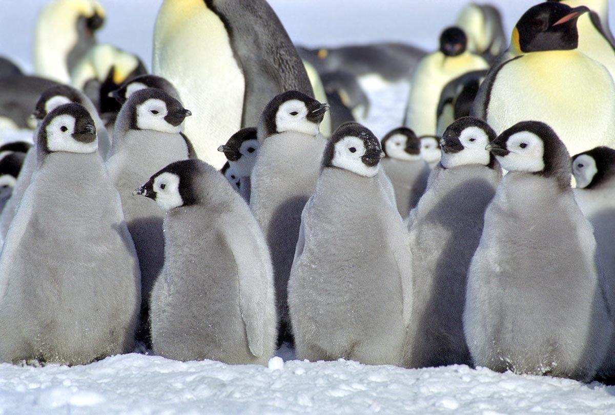 Cute Real Penguin HD Wallpaper