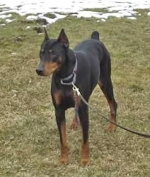 Adopt Mya On Doberman Pinscher Doberman Pinscher Puppy