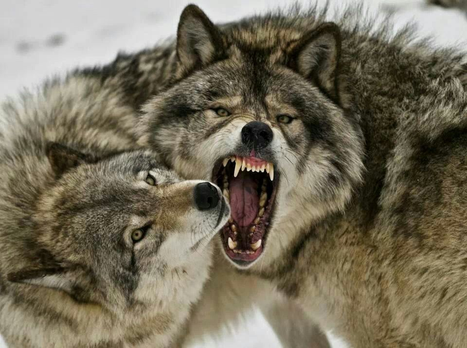 BACK OFF!!!! Beautiful wolves, Wolves fighting, Wolf