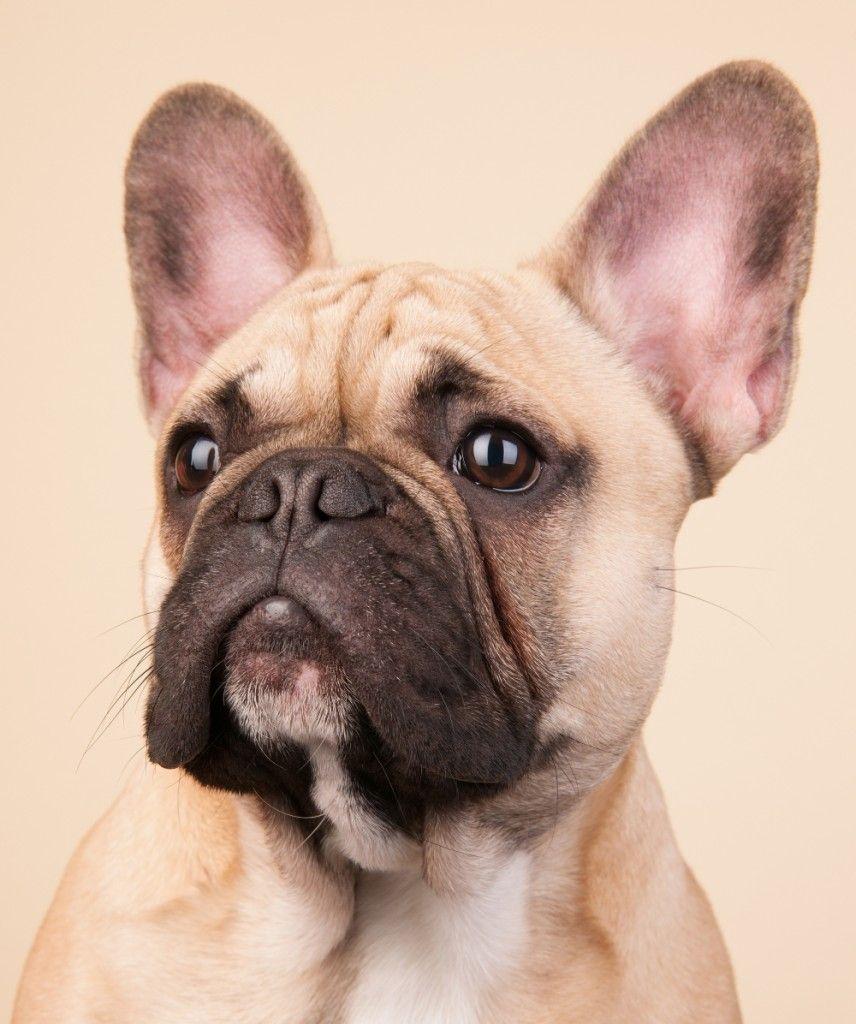 French Bulldog Breed Information Center The Complete Frenchie Guide French Bulldog Breed French Bulldog Cute Animal Names