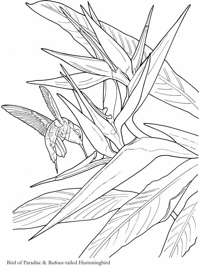Hummingbirds And Bird Of Paradise Flower Bird Coloring Pages Dover Coloring Pages Coloring Pages