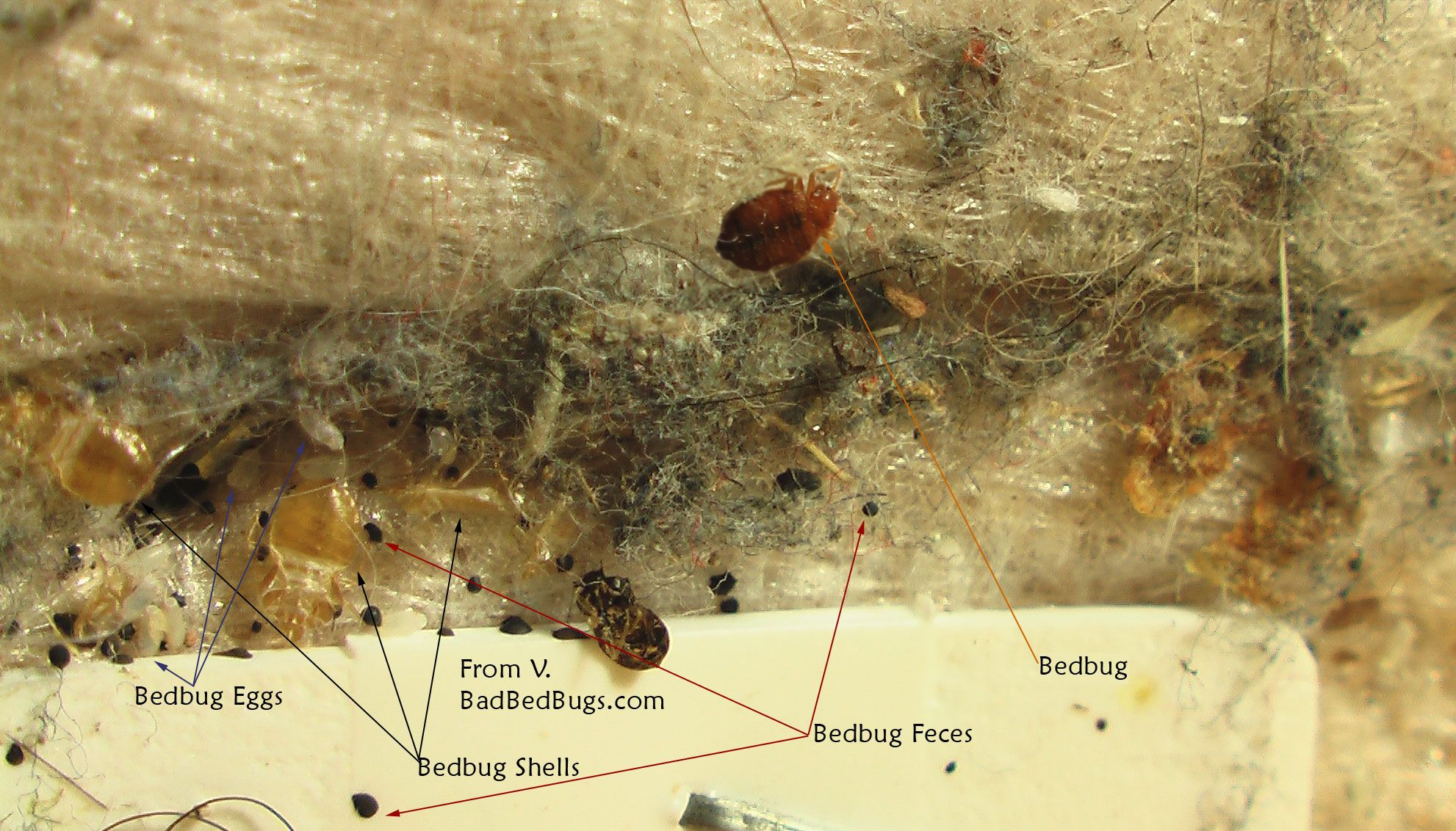 bed bugs on mattress with eggs and feces agnus pinterest bed