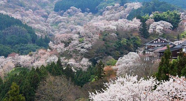 Cherry Blossoms Japan Japanese Cherry Blossom Cherry Blossom Japan Cherry Blossom