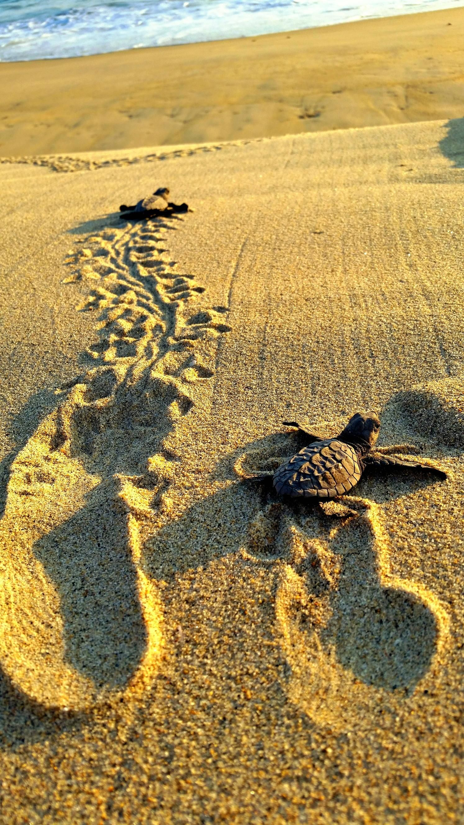 Baby turtle making its way to oceanhttpsifttt2d3klmu