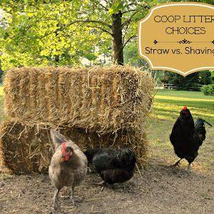Backyard Chicken Blog backyard chicken keeping blogtop-selling author lisa steele