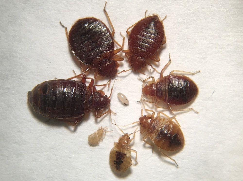 Best Bed Bugs Exterminators Toronto Bed Bugs Bug Exterminator Exterminator