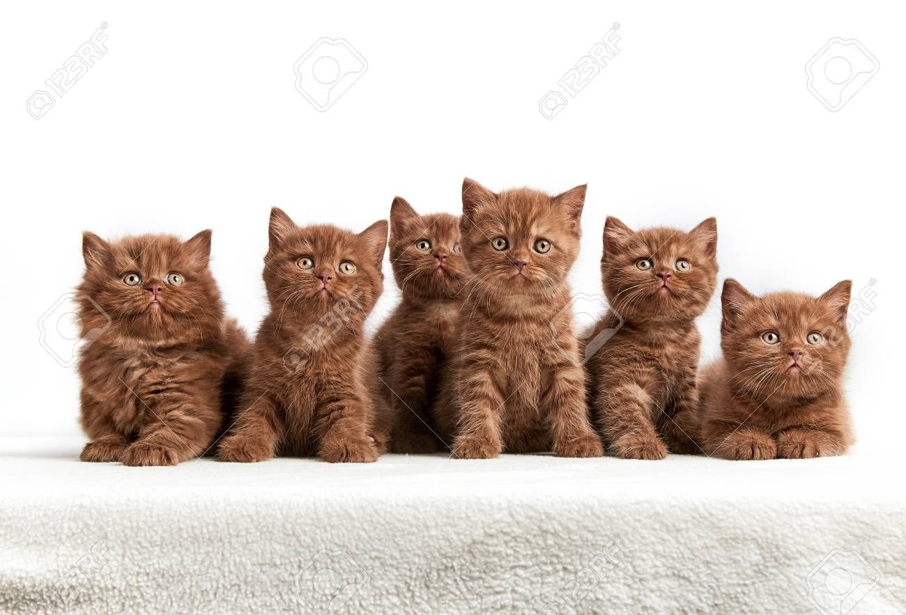 Portrait Of Six Brown British Kittens On White Background Animals Cat Wallpaper Kittens Cutest