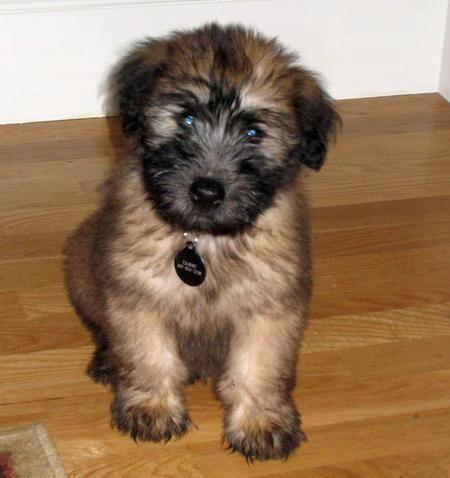 Sooo Cute Little Wheaten Terrier Puppies Ane Just So Cute