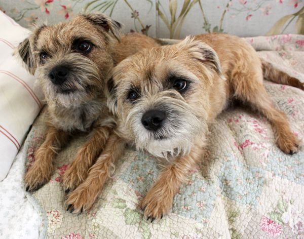 Border Terrier Pups For Border Terriers Their People Terrier