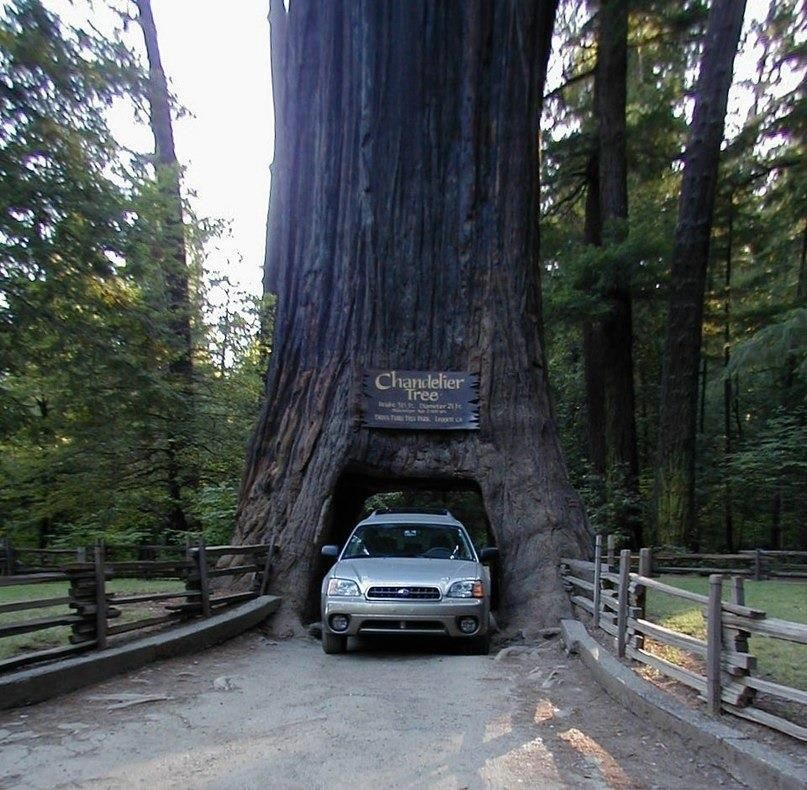 Tunnel in a tree in Sequoia National Park, California | Amazing ...