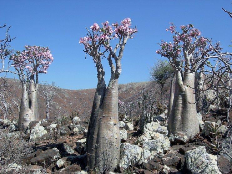 """Uma das mais belas flores do mundo a """"Rosa do Deserto"""" tem sua origem no Sul da África e na Península Arábica. Cada dia mais procurada para ser cultivada no Brasil, saiba aqui as princ…"""