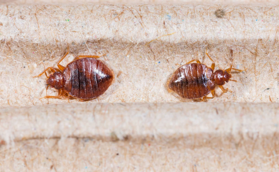 Bugs that Look Like Bed bugs and How to Identification Bed