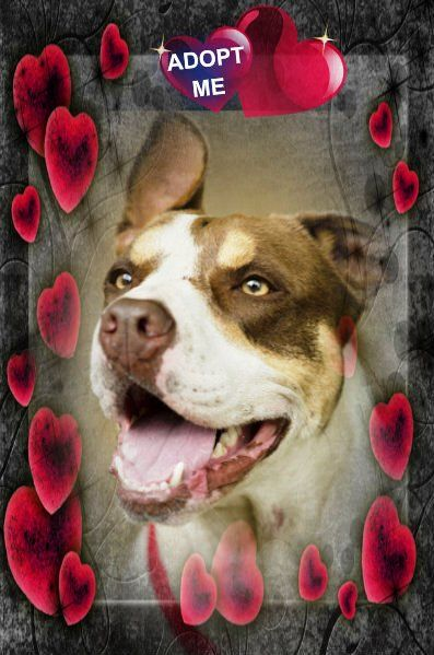 Adopt Ellie On Dog Adoption Terrier Mix Dogs Pets