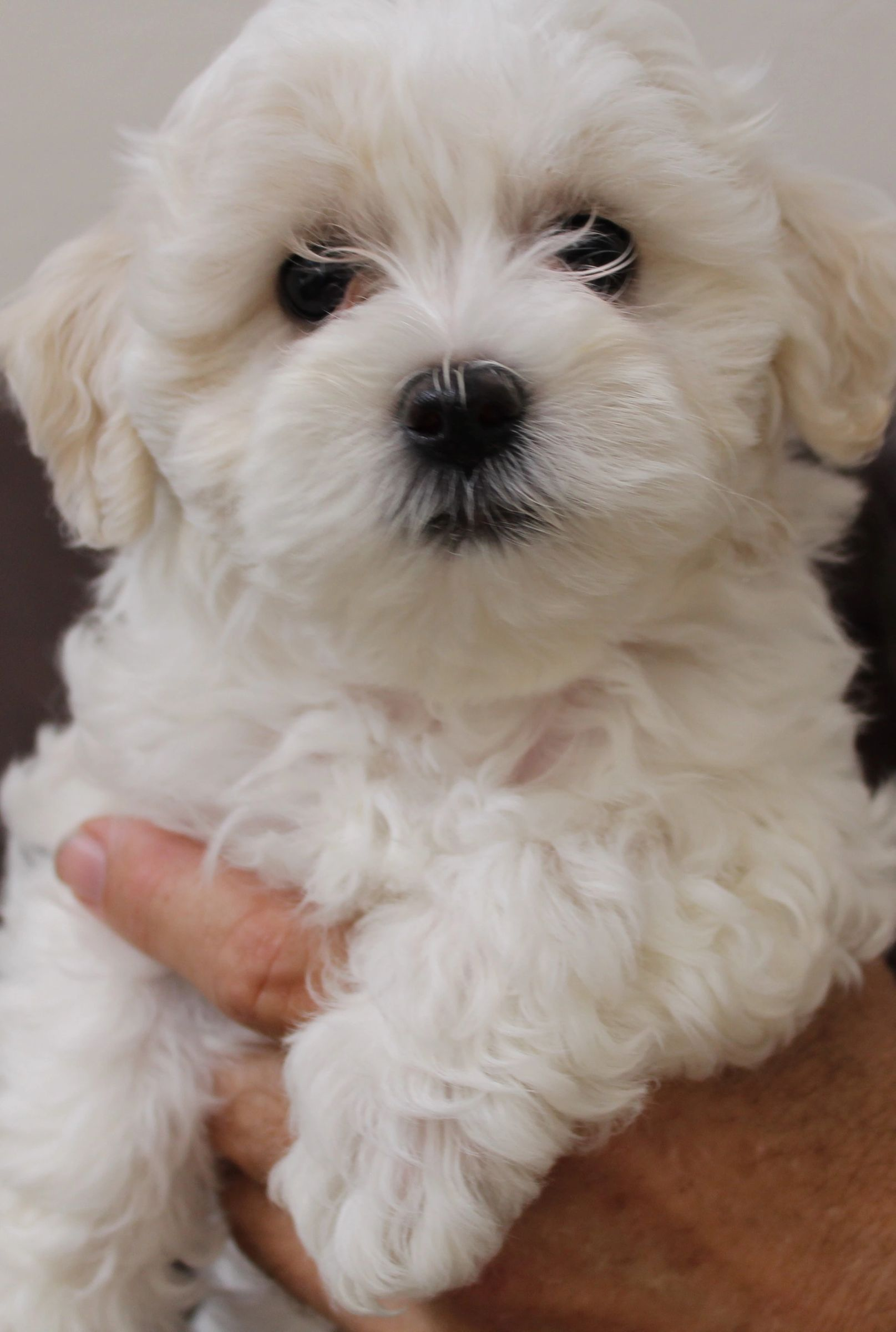 Gem Kennels Maltipoo Maltipoo Breeder In 2020 Love Pet Pet Owners Maltipoo Breeders