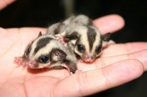 The Pocket Pet or Sugar Glider.  They were selling them at the mall with a captivated crowd...read up on them before purchasing.