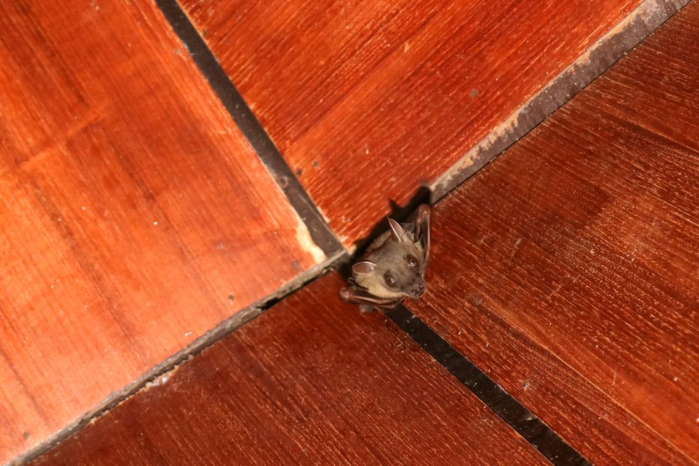 How to get a bat out of your house Bat species, Getting