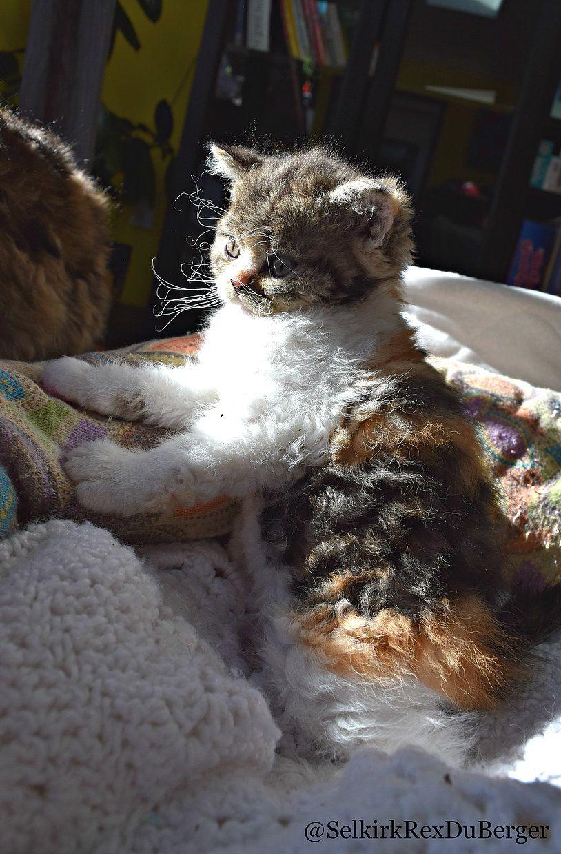 Chat Mouton Selkirk Rex Selkirk Rex Selkirk Rex Kittens Cats