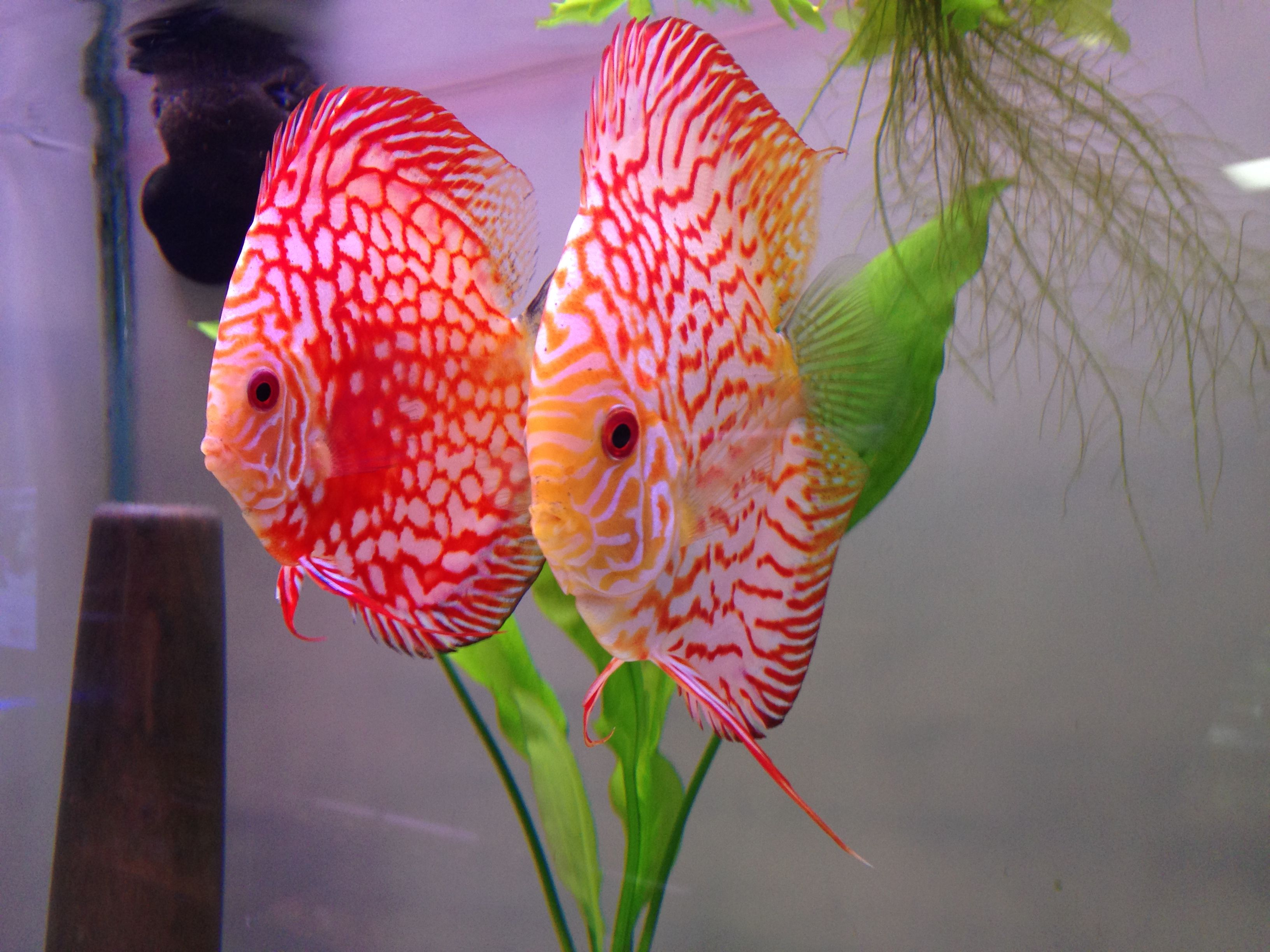 Rare Discus Fish Discus Fish Are Belong To A Family Of