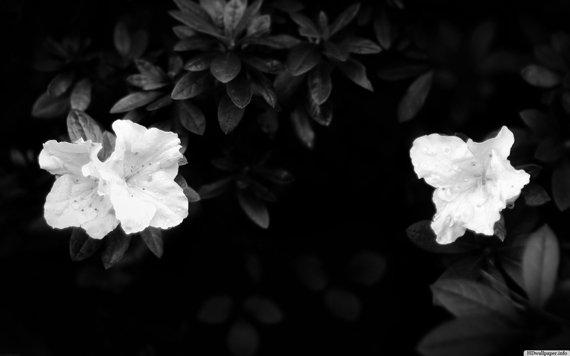 Black Flowers Wallpaper Httphdwallpaperfoblack Flowers