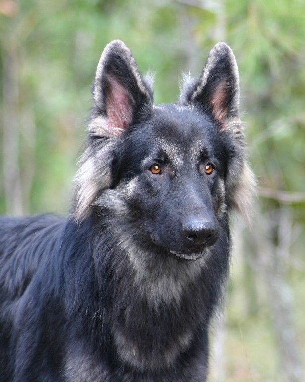Black And Silver German Shepherds Black And Silver Longhaired