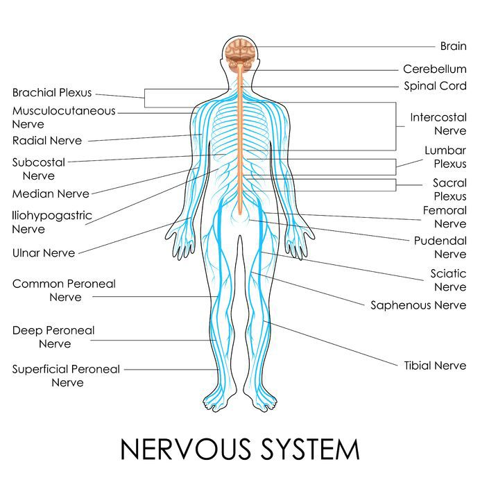 Learn more about your spinal nerves and your bodys nervous systems nerves of the body human anatomy diagram ccuart Images