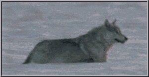 Running wolf gif