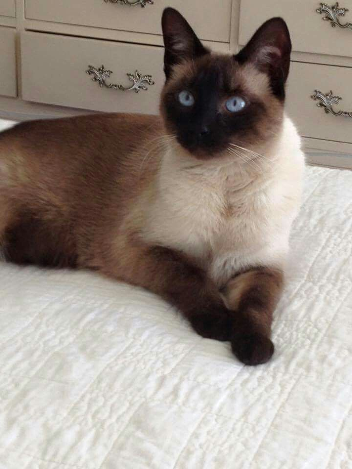 Best Photos And Images Ideas About Siamese Cat Most Affectionate Cat Breeds Siamesecat Cat Breeds Siamese Cats Siamese Kittens