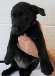 Katie Is An Adoptable Labrador Retriever Dog In Fowler Mi This Is Katie A 9 Week Old Black Lab Mix Black Lab Mix Retriever Dog Labrador Retriever Dog