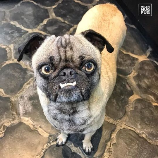 Mean Mug Pug Pugs Cute Pug Puppies Pugs Funny