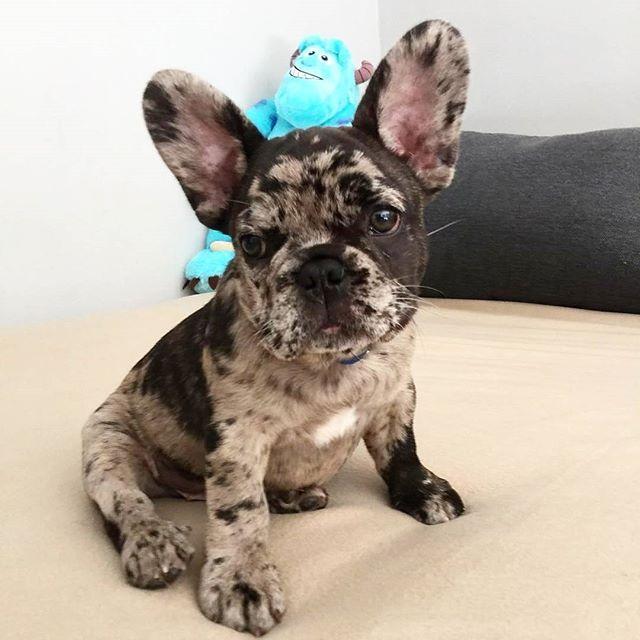 Frenchie Bulldog Puppies French Bulldog Puppies Cute Dogs