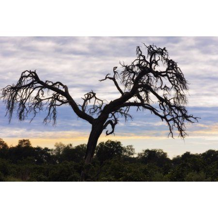 Camel Thorn Tree Tanzania Africa Canvas Art - Carson Ganci Design Pics (36 x 24)