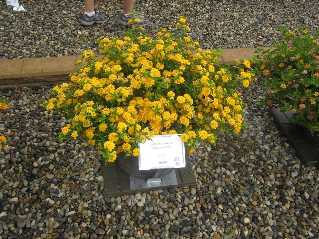Lantana Santana Gold Great For Containers Shorter Than New Gold And Other Trailing Yellow Varieties Container Gardening Lantana Plants