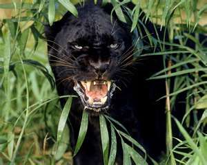 Black Jaguar Animal Issa S Spirit Animal Scenes From Night Child