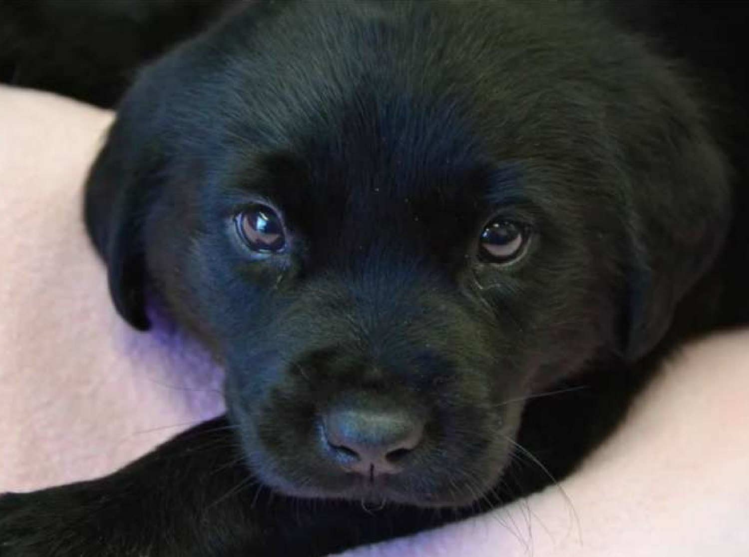 Puppy With Swimmer's Syndrome Learns to Walk for the First
