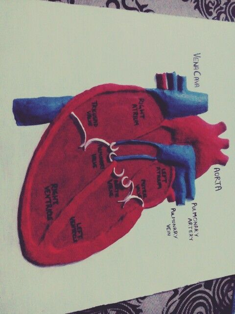 The human heart model i made for my biology lab Just