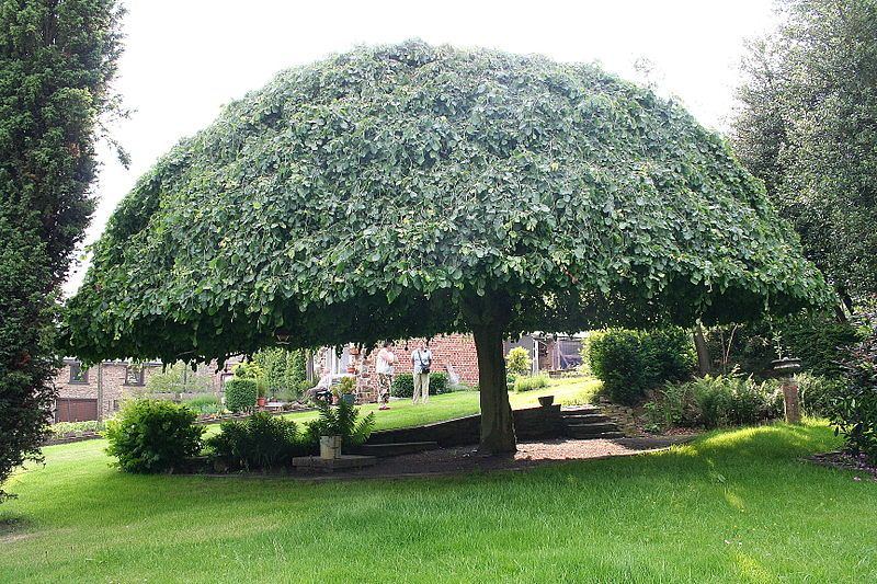 Trees Shaped Like Umbrellas Tree That Has A Large Top The