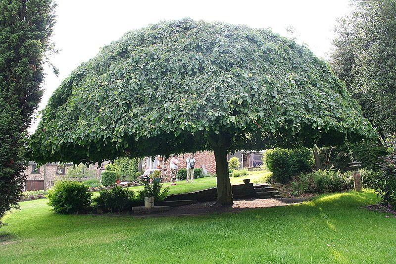 Trees Shaped Like Umbrellas