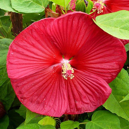 Perennials For Wet Soil Gardening Flowers Perennials Perennials