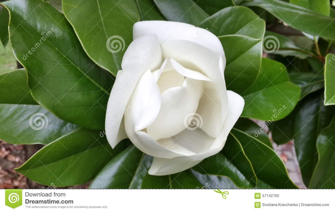 Beautiful White Magnolia Flower Download From Over 60 Million High
