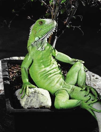 Photogenic Iguanas - Imgur