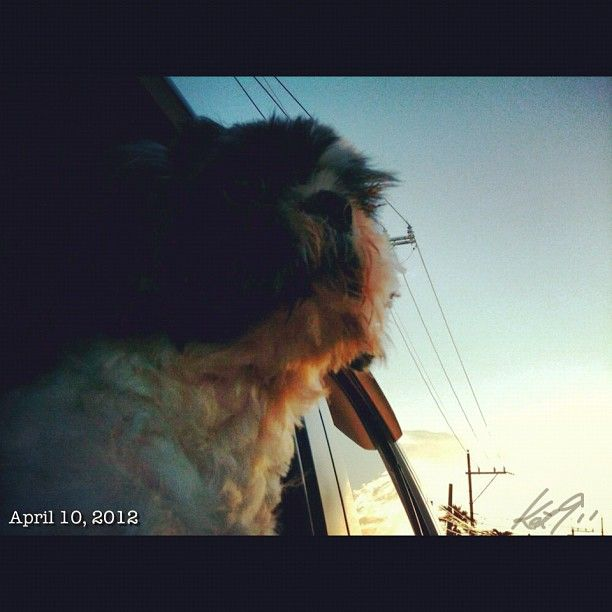 Pepperもねっ? #shihtzu #dog #philippines #drive #sky #cloud #空 #雲